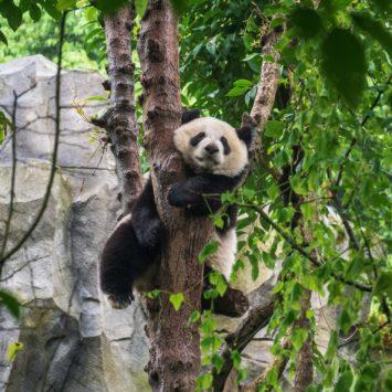 On a vu des pandas en vrai !