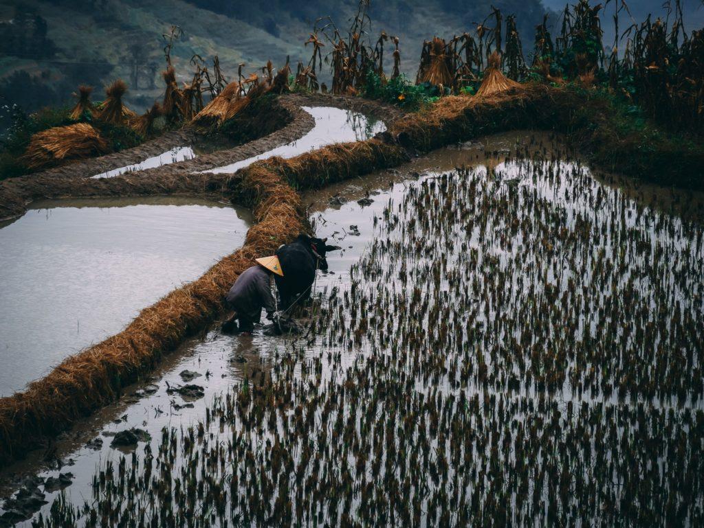 Un homme laboure les rizières