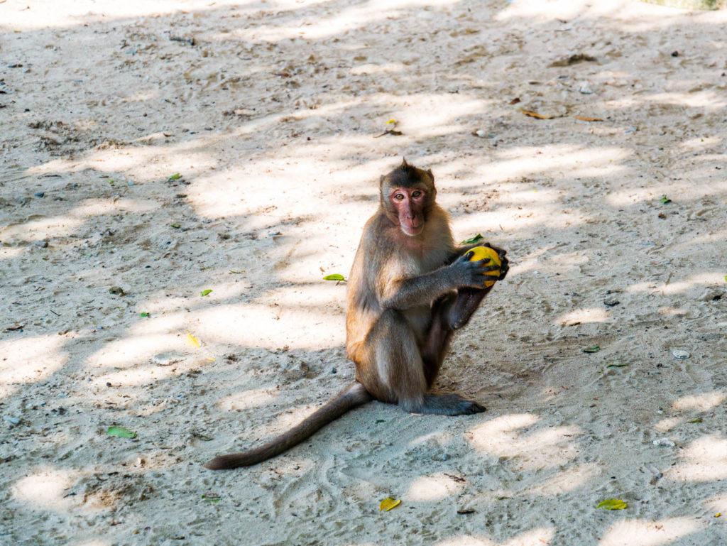 Un singe de l'île du même nom