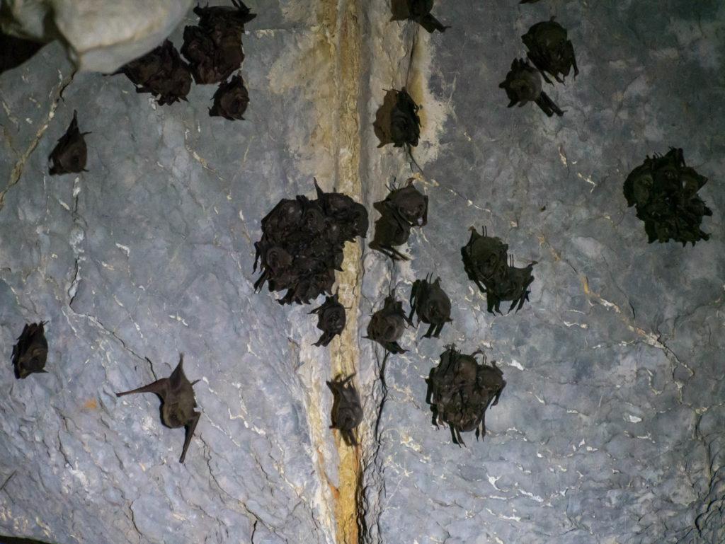 Des chauves-souris dans une grotte.