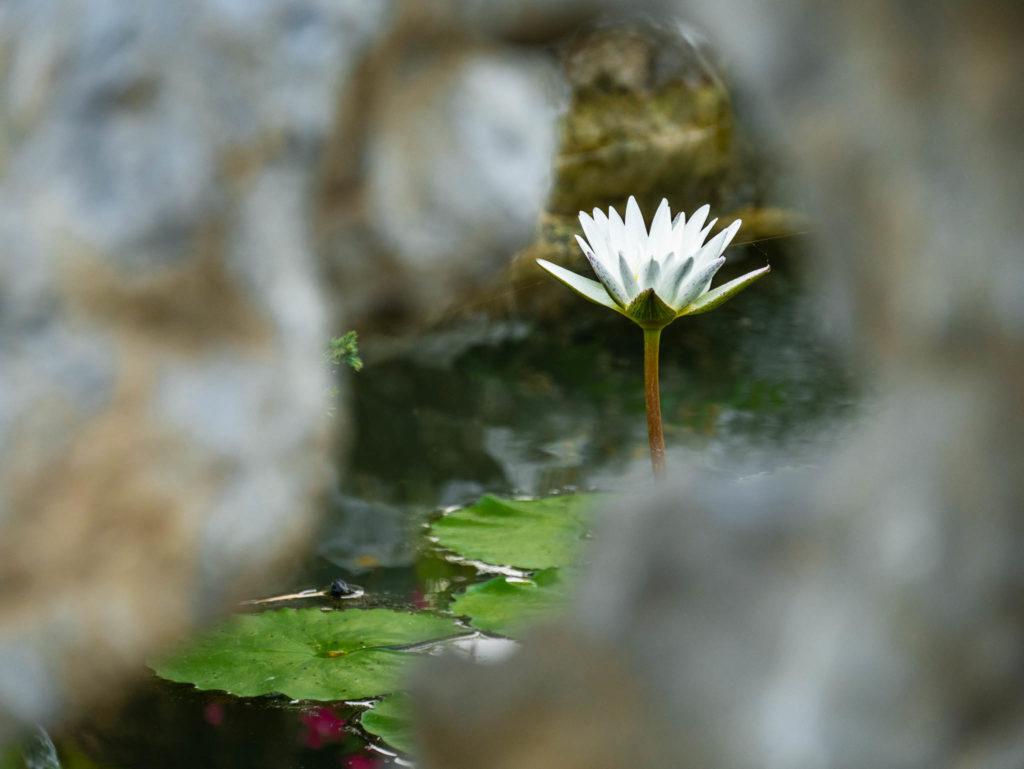 Un lotus caché