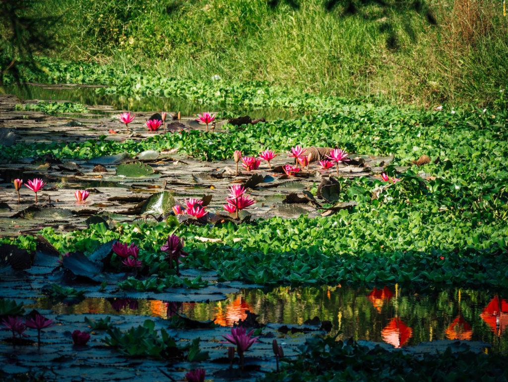 Des fleurs de lotus