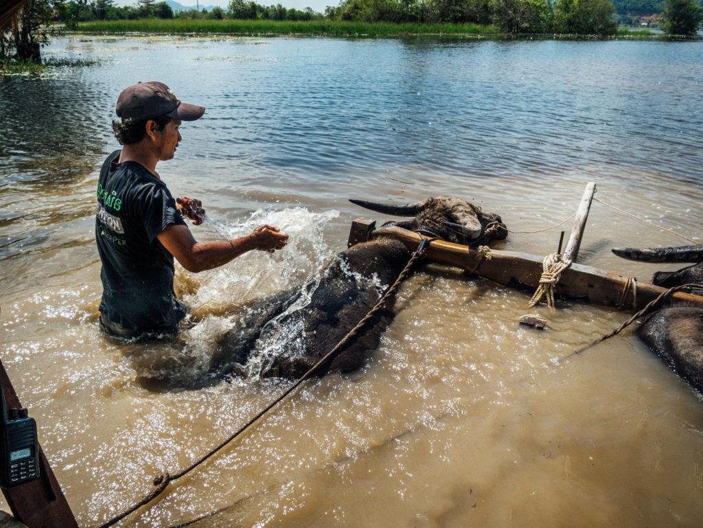 Notre conducteur lave les buffles dans l'eau