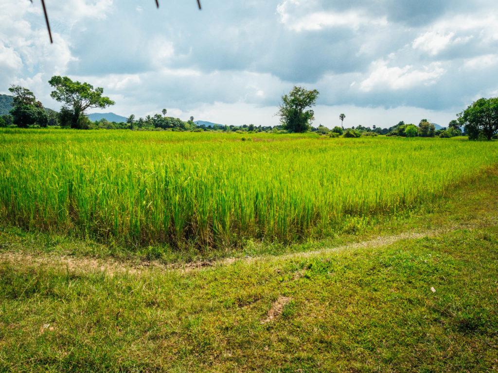Les rizières le long de la balade
