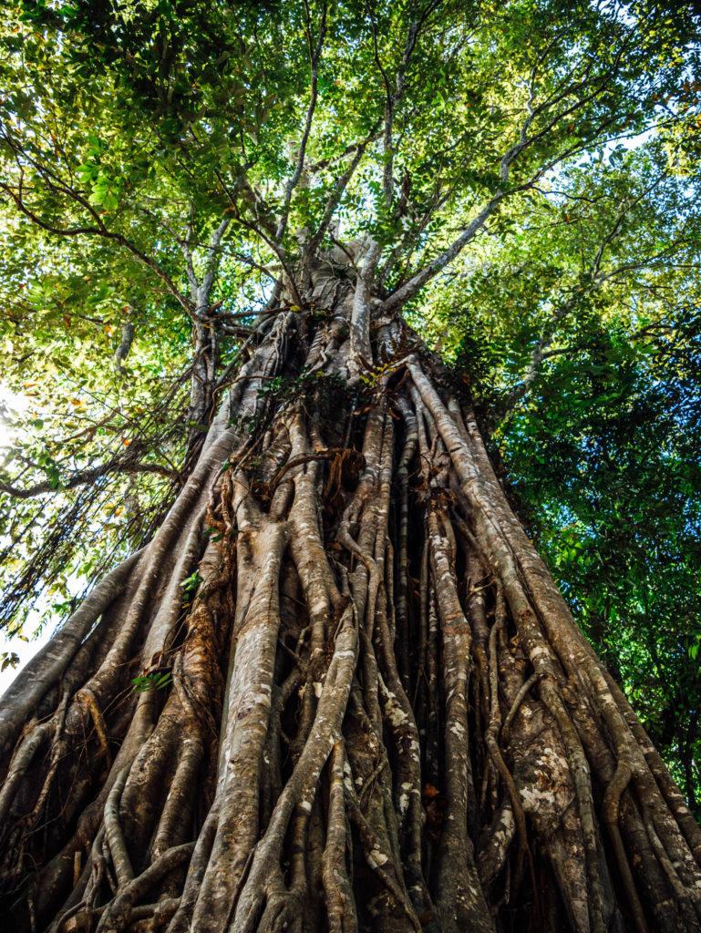 Les arbres sont rois ici