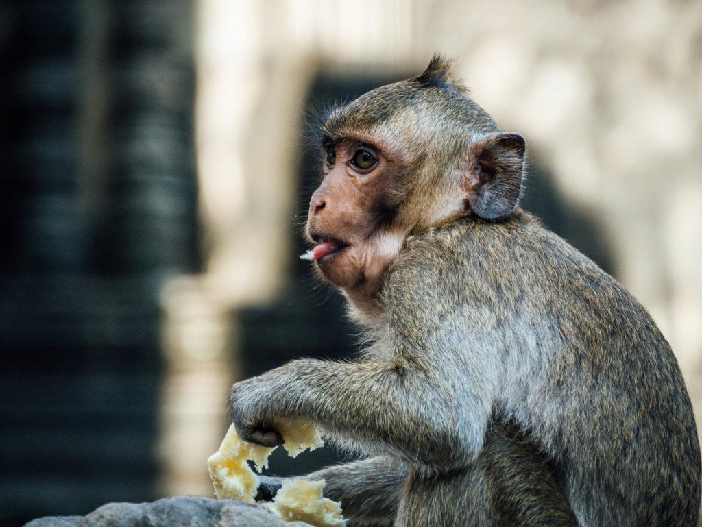 Des petits macaques ont compris que les touristes allaient les nourrir.