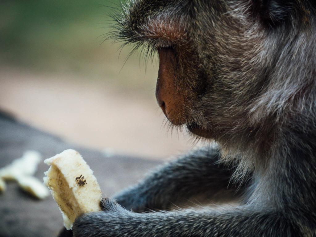 Un singe regardant sa tranche de pain de mie offerte par un touriste