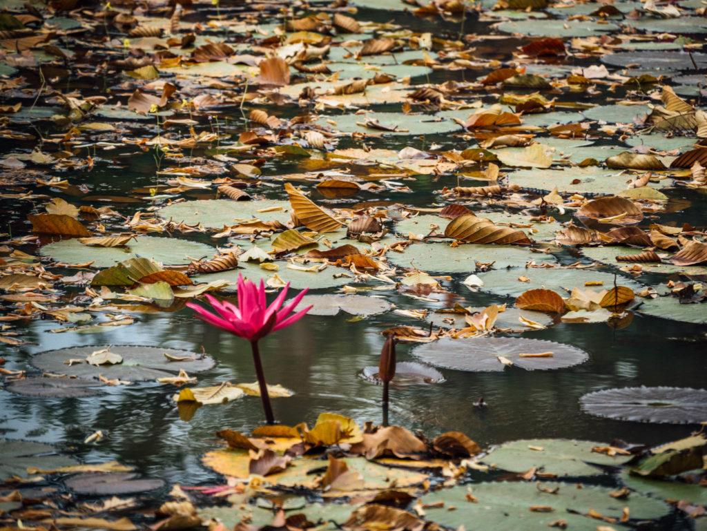Un lotus à l'entrée du Banteay Srei