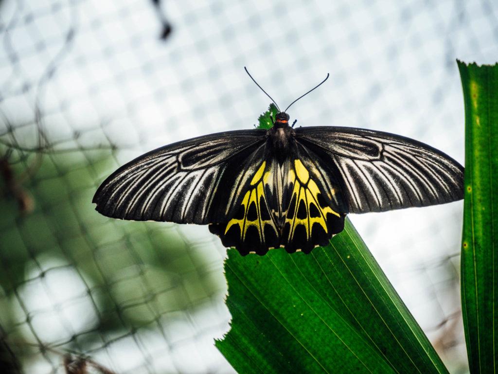 Un immensa papillon de la taille d'une main