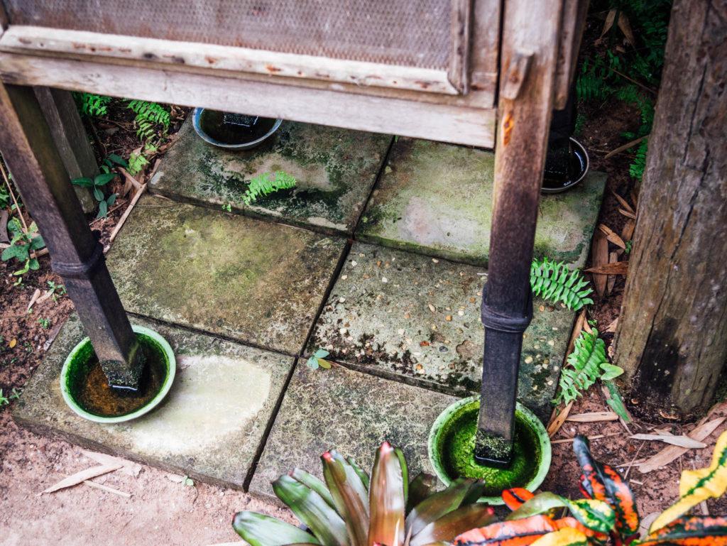 Des bols remplis d'eau protègent les cocons des fourmis