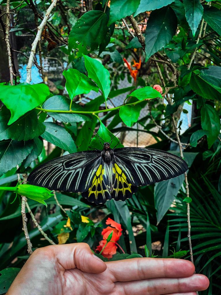 Papillon de la taille d'une main