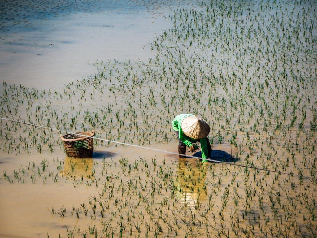 Une dame plantant du riz