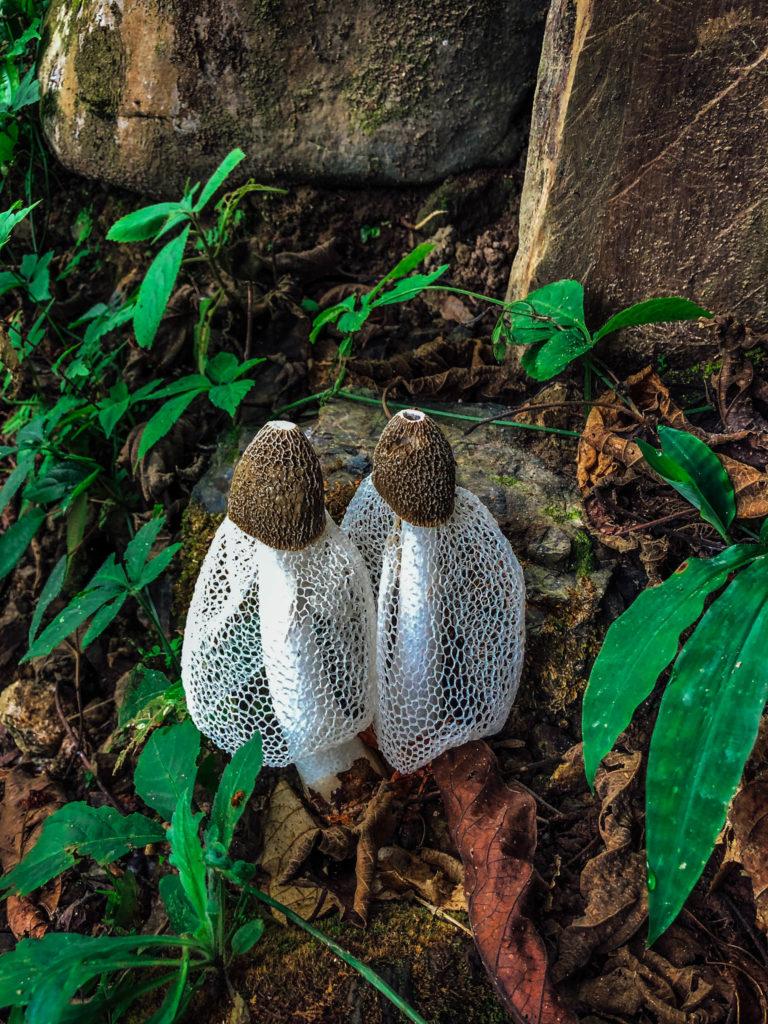 Champignons laotiens
