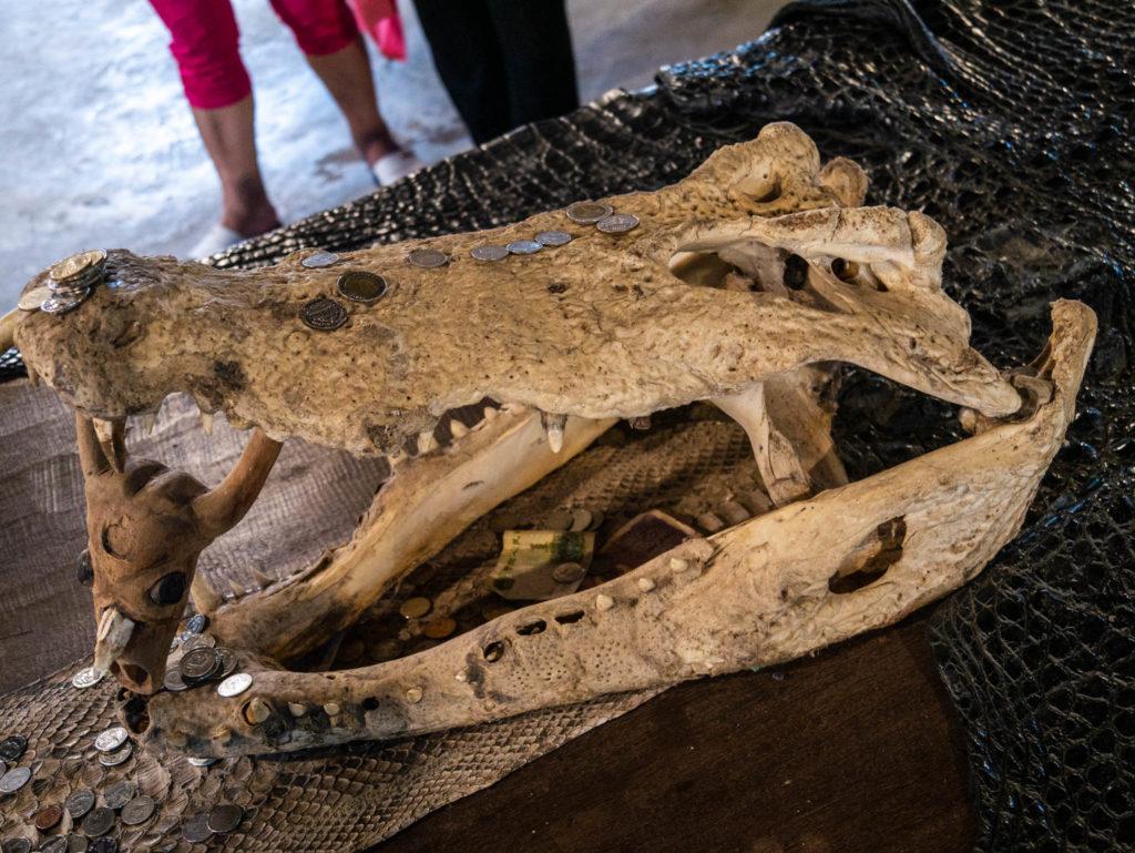 Un crâne de crocodile