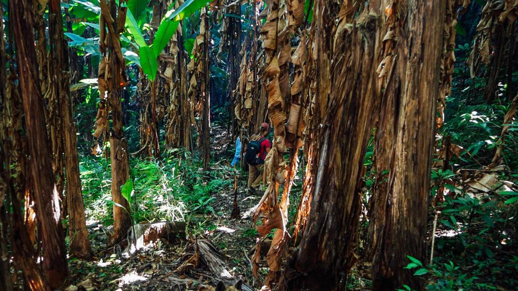 Dans la jungle de bananiers
