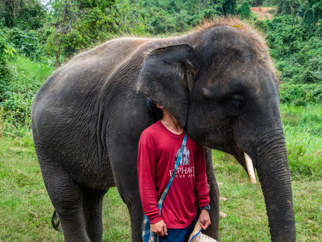 Un mahout joue à cache-cache avec son éléphant
