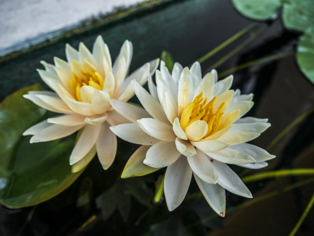 De magnifiques fleurs de lotus