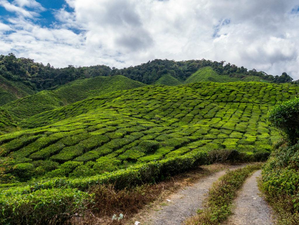 Le sentier au milieu des plantations