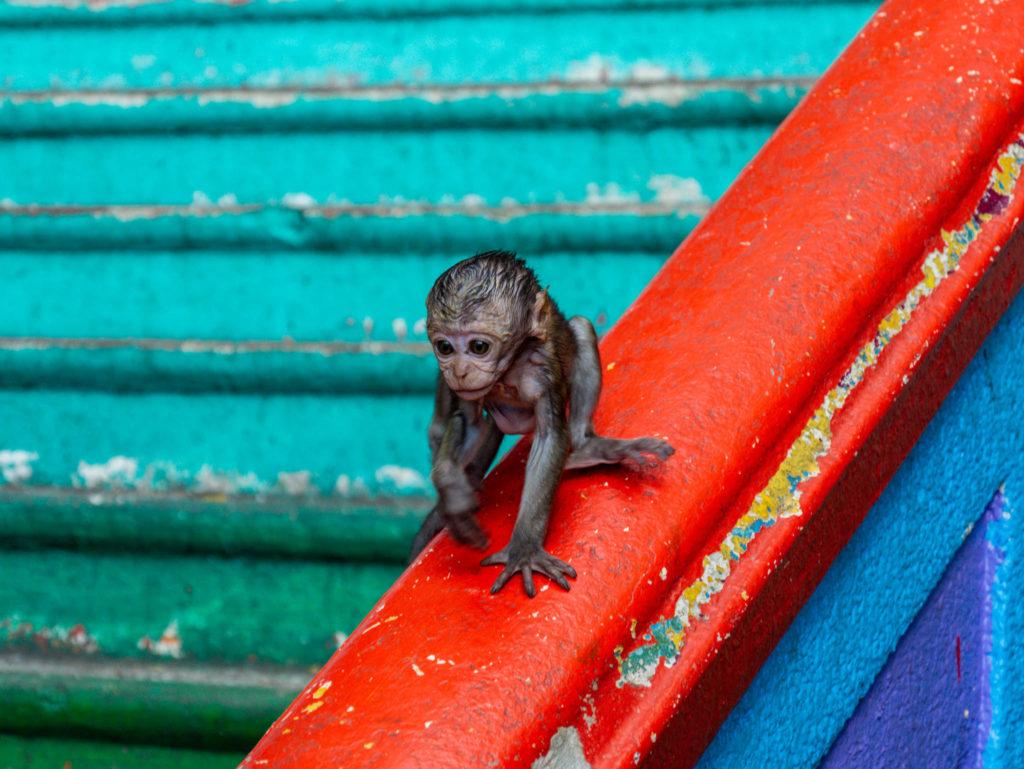 Un bébé singe cherchant sa mère