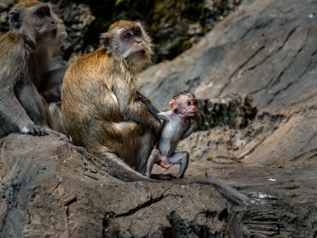 Des singes devant les grottes