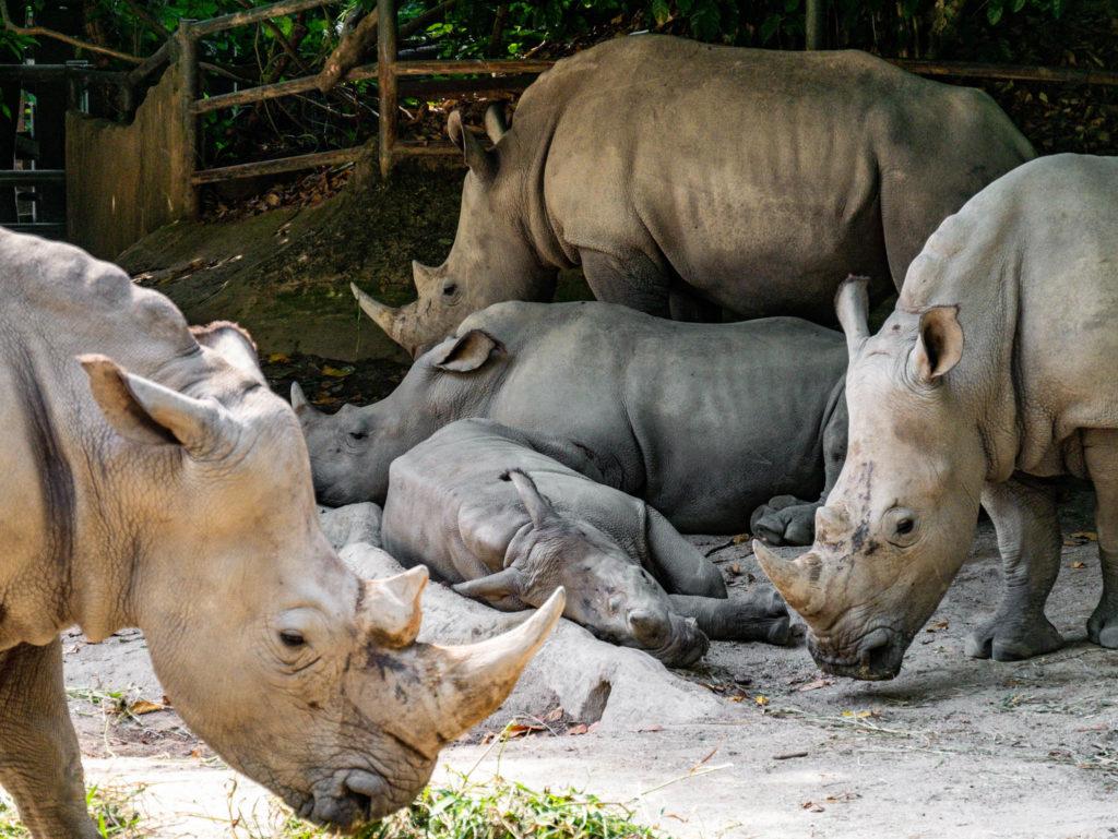 Un groupe de rhinocéros blanc