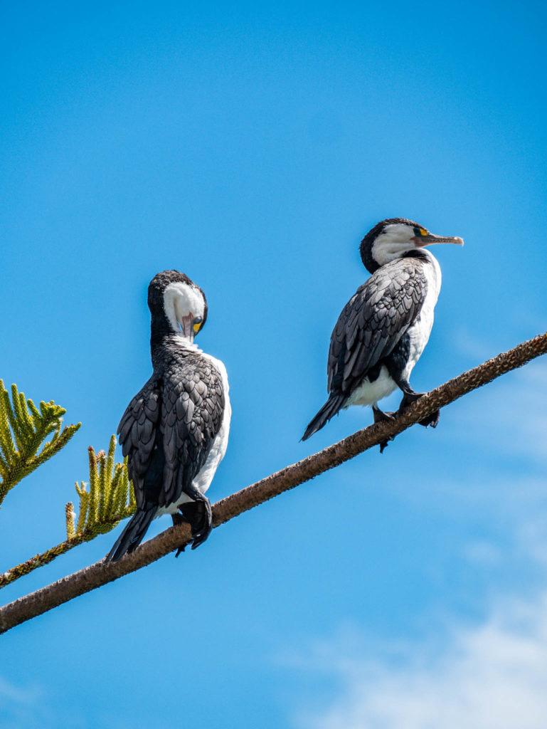 De beaux oiseaux. On pense qu'il s'agit de Cormorans