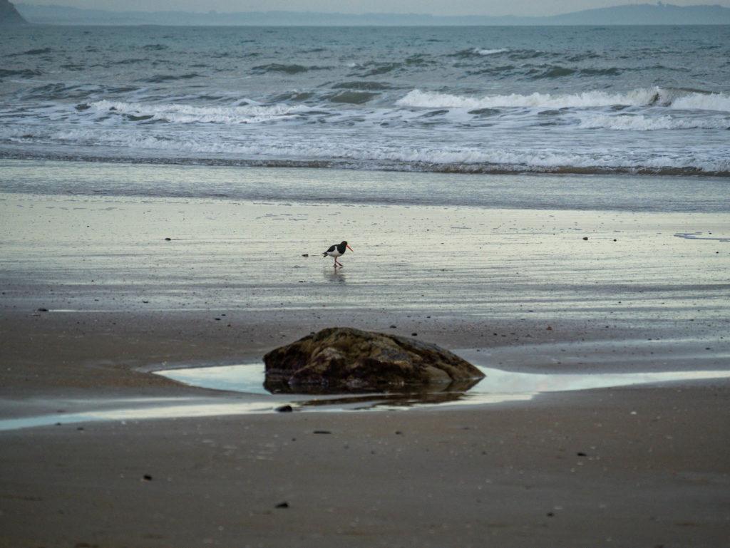 Un huitrier se balade sur la plage