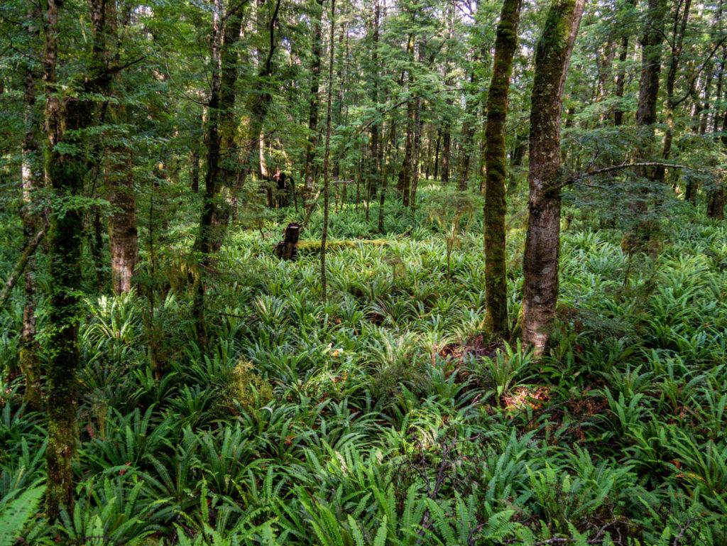 Une forêt de fougères