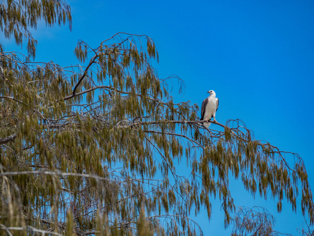L'aigle de Lady Musgrave