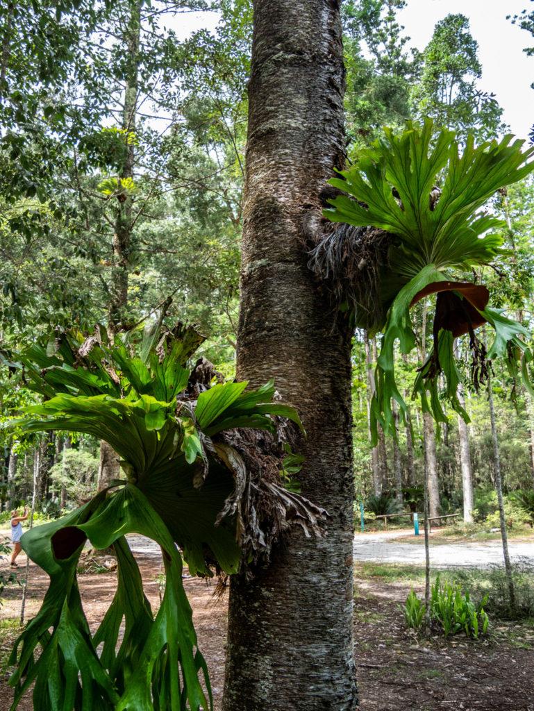 Les arbres de la forêt de Fraser Island