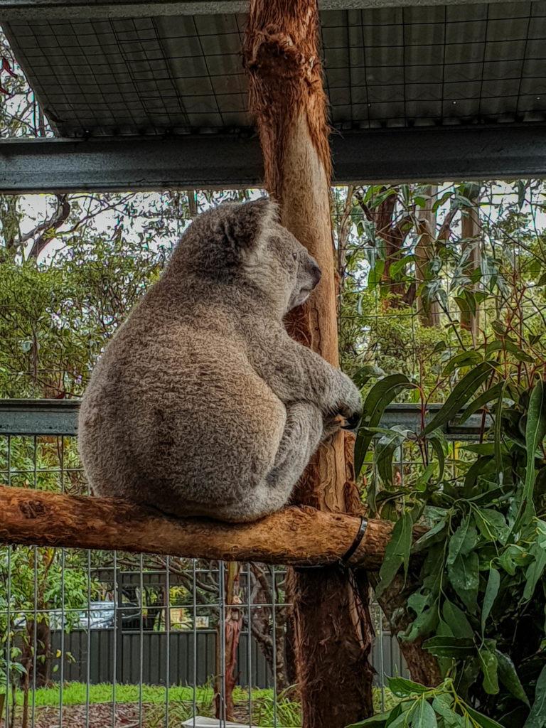 Un des koalas du centre