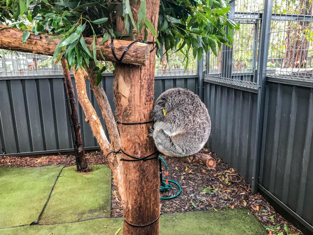 Quand ils dorment les koalas se mettent en boule