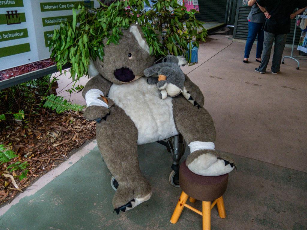 L'arrivée à l'hôpital des koalas