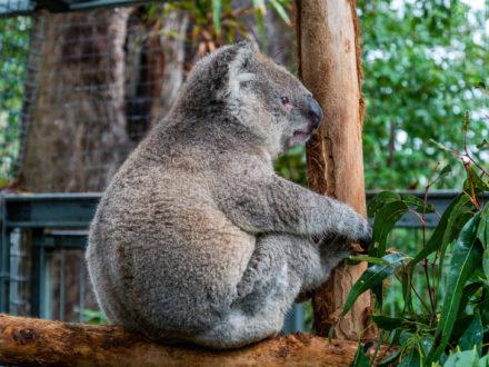 Nos premiers (et derniers) koalas !