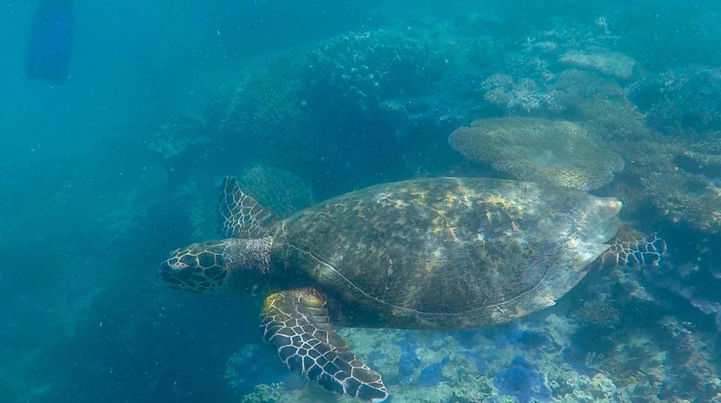 Nager avec une tortue, le rêve !