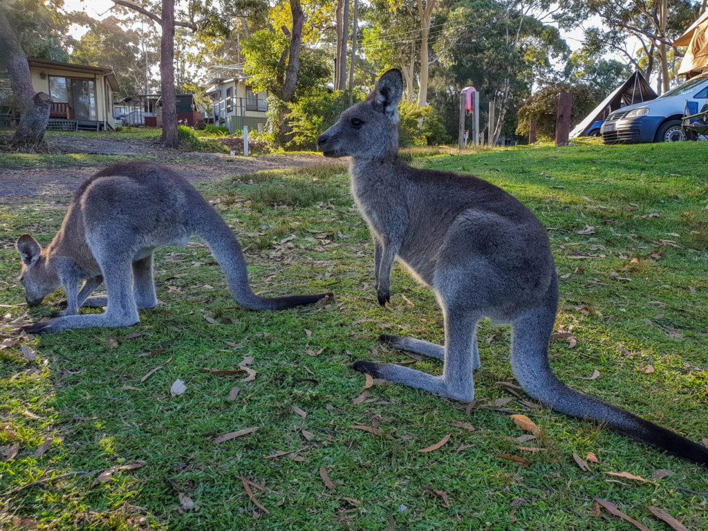 Les kangourous du camping