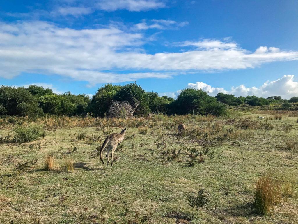 Dès notre arrivée dans le parc, nous apercevons des kangourous