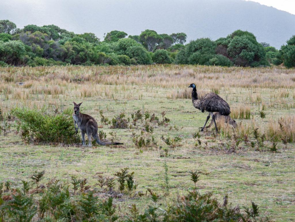 Des kangourous et des émeus