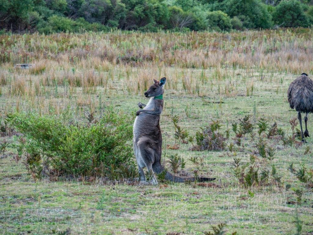 Chaue kangourou est bagué